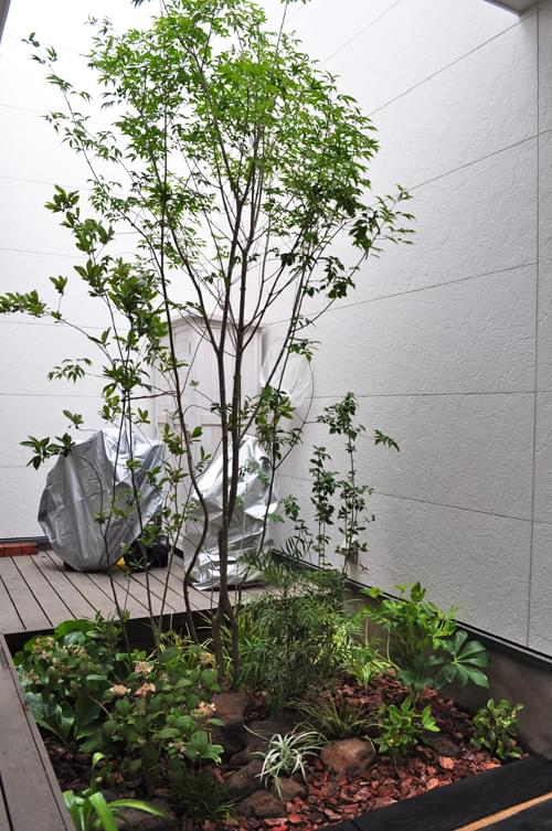 やや日陰となる中庭に佇むアオダモ