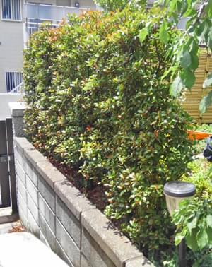 生垣風に植栽したヒメシャリンバイ