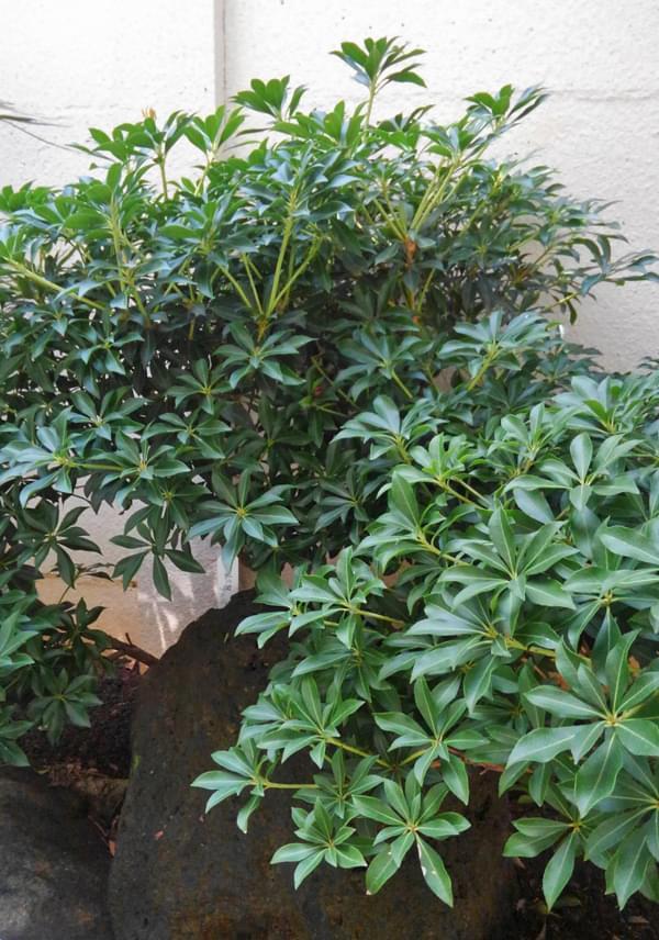 密な小葉が日陰に生える屋久島アセビ