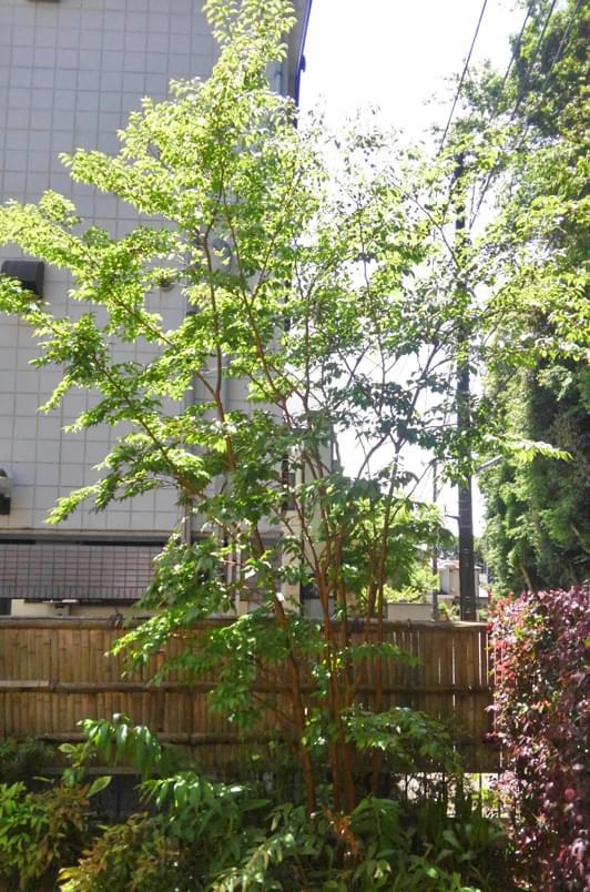 枝透かしのみで整えるヒメシャラ剪定