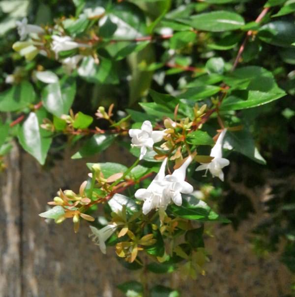 花数も多く、賑やかなアベリア