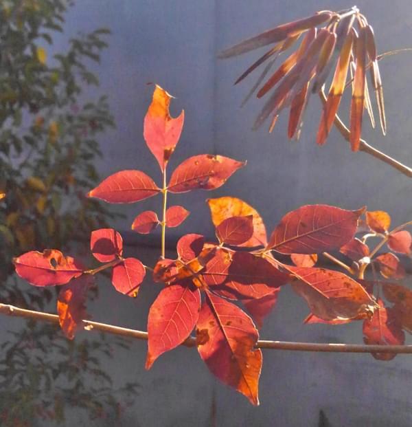 アオダモの紅葉