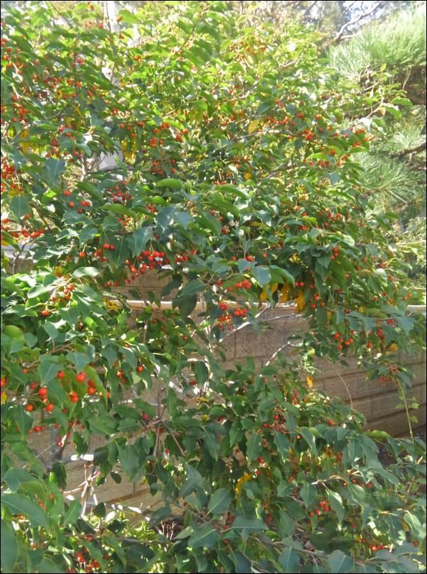 多くの実成りが秋を思わせるソヨゴ