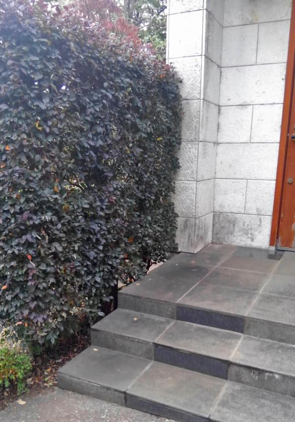 玄関脇を目隠しするトキワマンサクの生垣