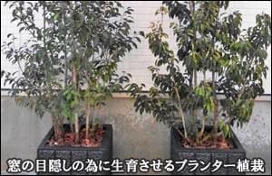 窓の目隠しの為に成長をさせるプランター植栽-杉並区H様邸