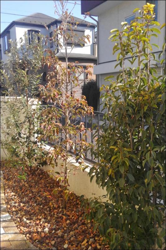 幹数の多いソヨゴを吟味の上で植栽