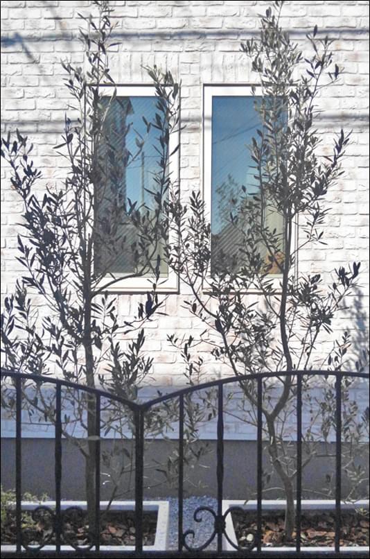 外壁とオリーブのコントラスト