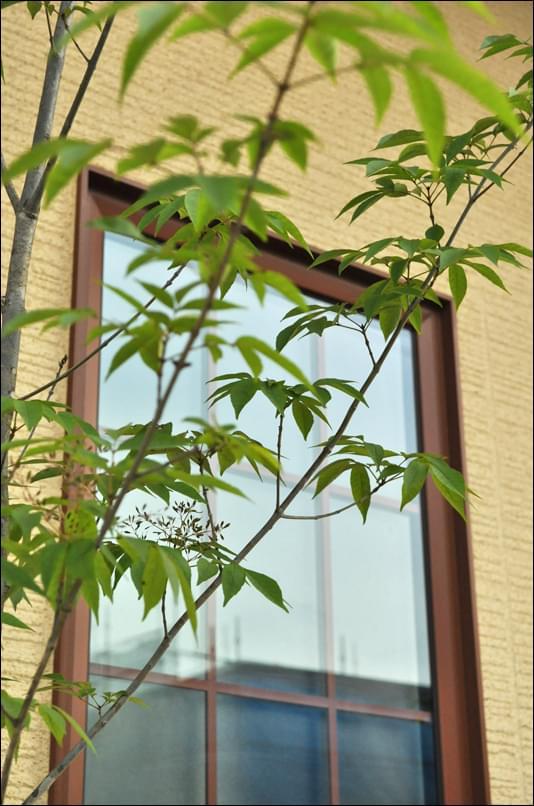 窓に寄せるアオダモのシルエット
