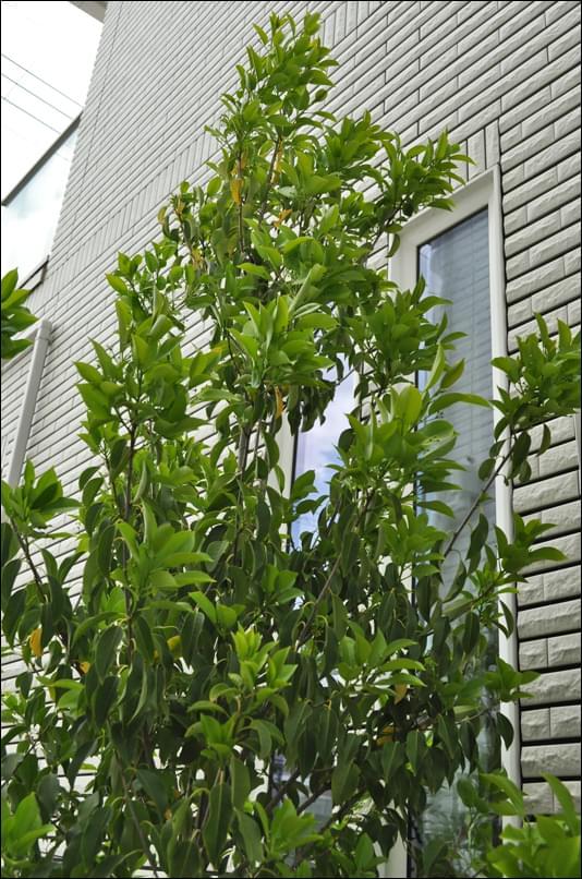目隠しとして植栽したソヨゴ
