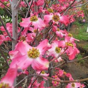 ハナミズキの紅花