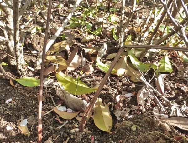 常緑樹の落ち葉