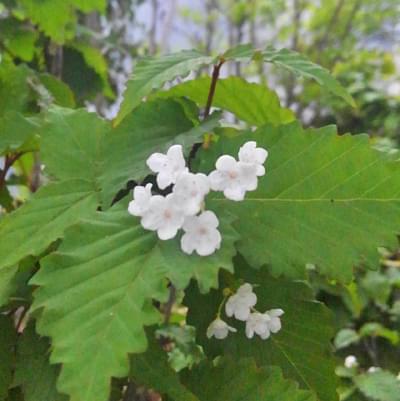 オトコヨウゾメの花