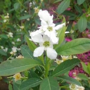 リキュウバイ(利休梅)の花