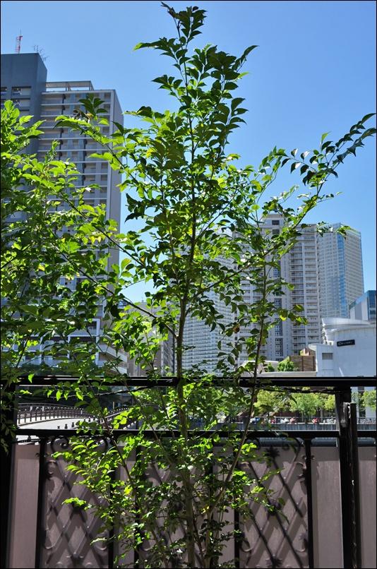 主となる幹が明確な樹形のシマトネリコ