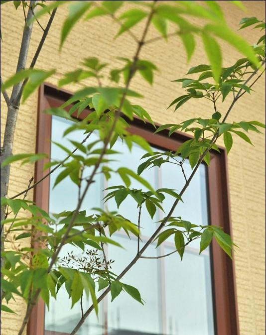 窓際で揺らぐアオダモの葉
