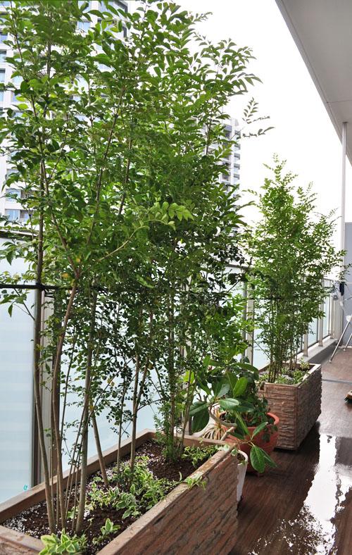 プランターへ植栽したシマトネリコ
