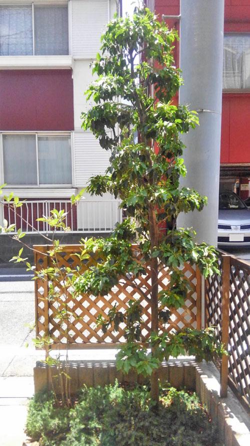 植栽後5年が経過したソヨゴ