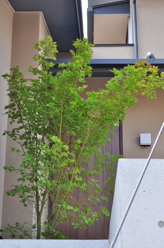 玄関前で自然に傾ぐコハウチワカエデ
