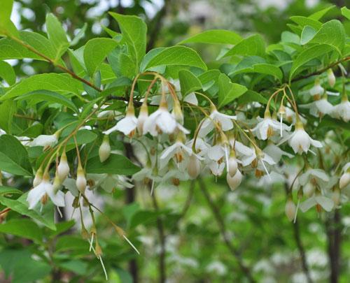 下垂するエゴノキの花