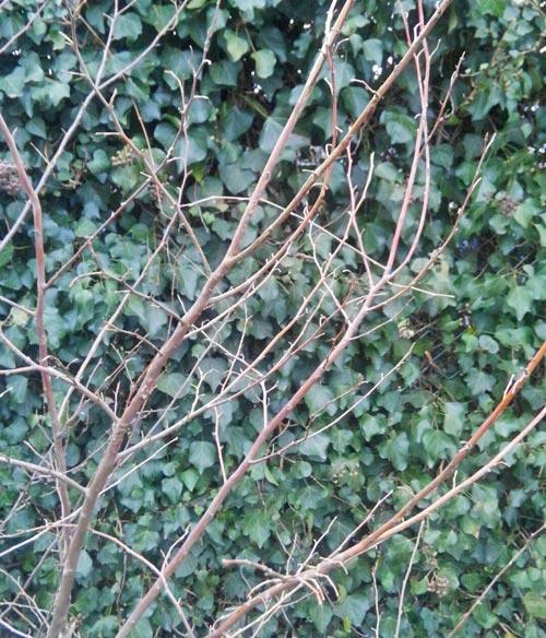 落葉期のエゴノキ