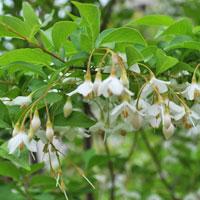 エゴノキの特徴や育て方を解説-花や樹形も魅力的なシンボルツリーとしてもおすすめです