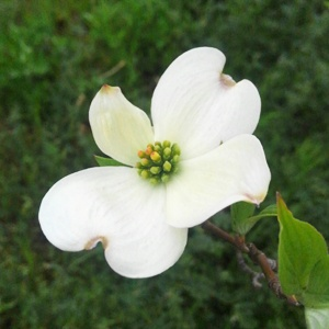 ハナミズキの白花