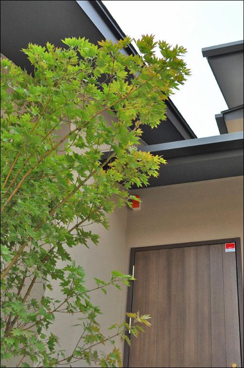 シンボルツリーとしてのコハウチワカエデ