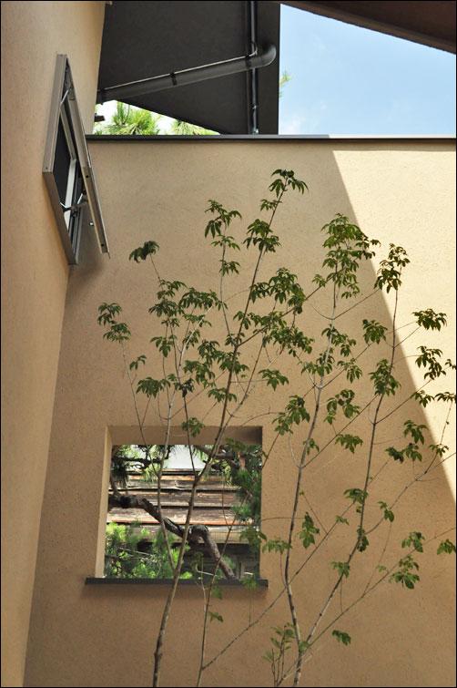 日陰で悠々と育つアオダモ