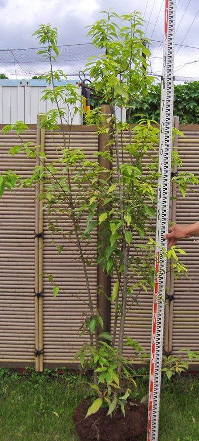 一般的なシラカシの株立ち樹形