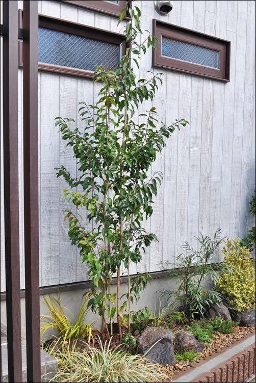 シンボルツリーとしてレイアウトに馴染むソヨゴ