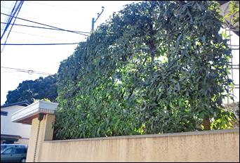 シラカシの高垣