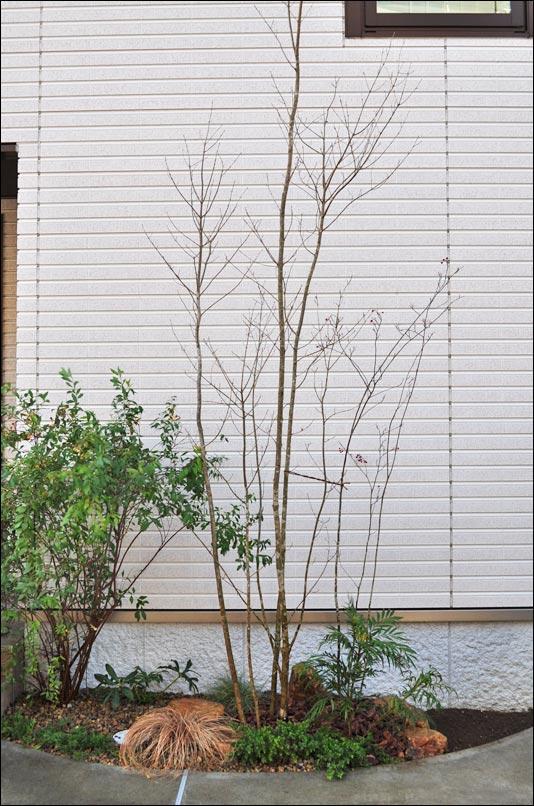 シンボルツリーは4mクラスのアオダモを