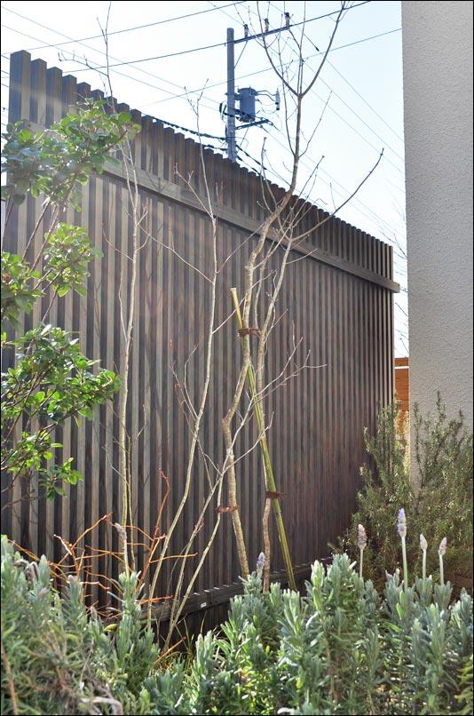 目隠しフェンス前にはアオダモを植栽