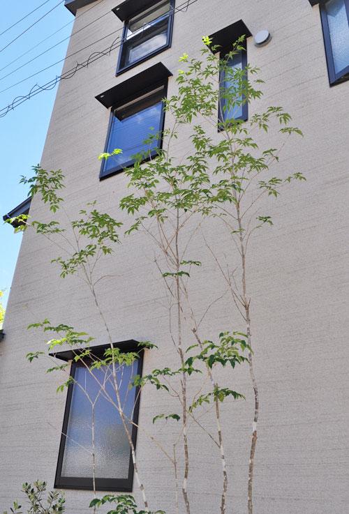 アオダモの樹形