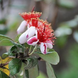 フェイショアの花