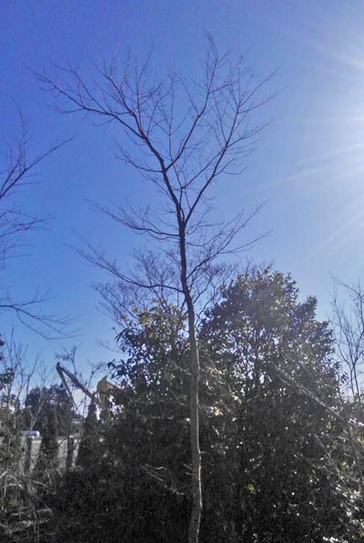 自然そのままの樹形のイロハモミジ