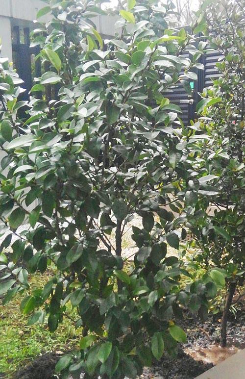 濃緑葉が美しいオガタマ