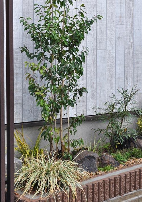 低木としても使えるソヨゴ