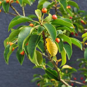 秋に色付きを見せるソヨゴの実