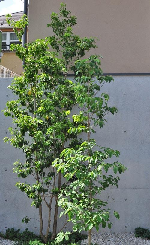 株立ち樹形のソヨゴ