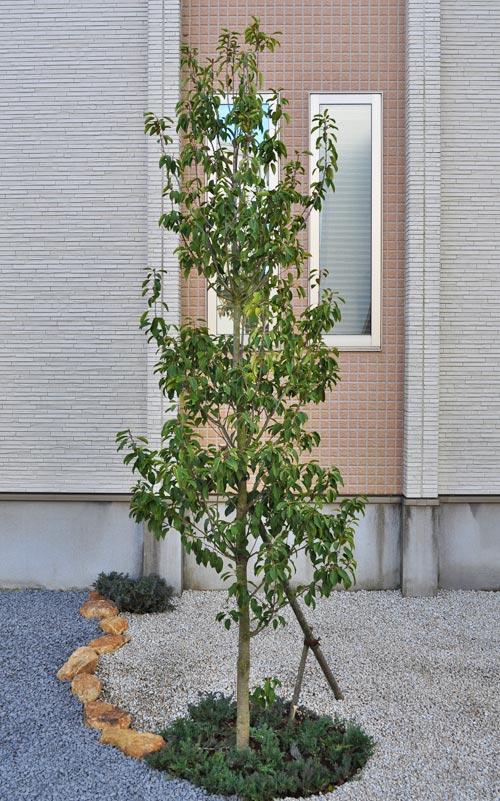 単幹樹形のソヨゴ