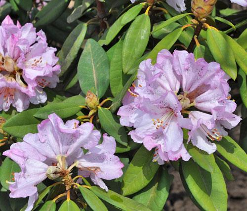 薄紫のシャクナゲ