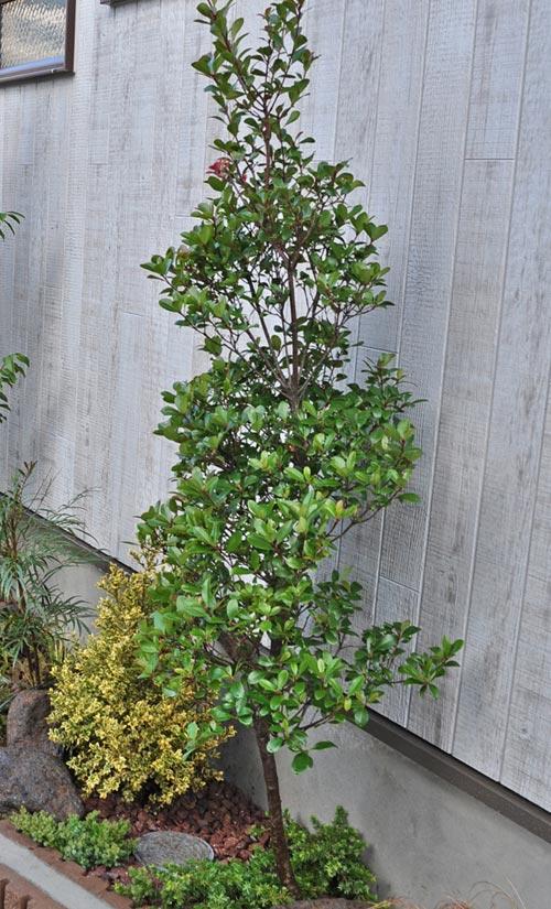 立ち木タイプの低木