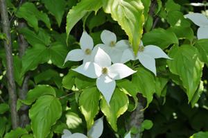 ヤマボウシの野趣ある花