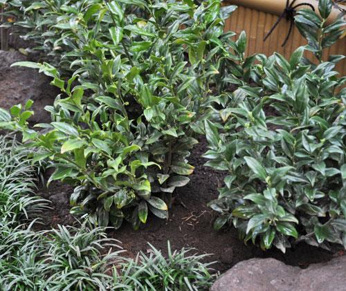 寄せ植えに向くタイプの低木