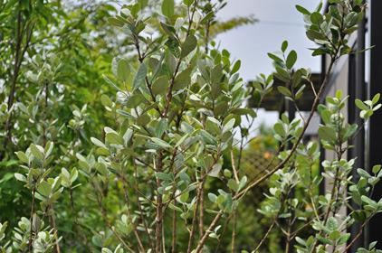 枝葉を透かした爽やかなフェイジョア
