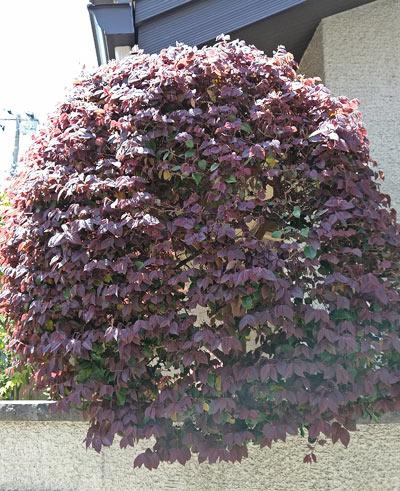 目隠しに向く、葉密度の高い庭木