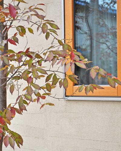 紅葉の色付きを始めるヒメシャラの葉