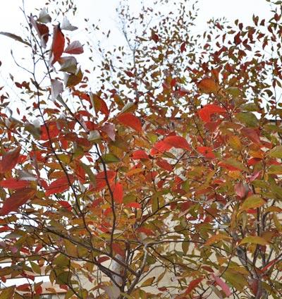 ヒメシャラの紅葉を見上げる