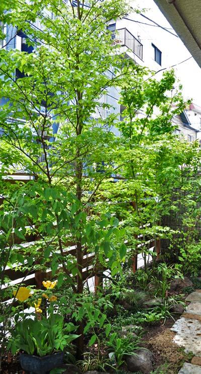雑木ガーデンに溶け込む一本幹のヒメシャラ